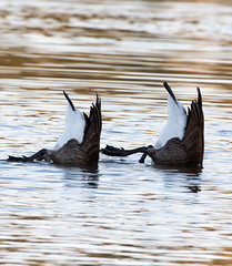 Bernaches du Canada Laval 13-09-2019 a (frankthewood63) Tags: 2019 laval québec oiseaux oiseau birds bird