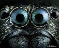 oOOo (quenoteam) Tags: olympus mitutoyo stacking macro closeup spider araña