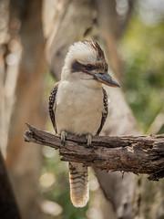 kookaburra-6 (Mariasme) Tags: dacelonovaeguineae bird wildlife australia friendlychallenges