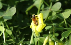 Bee diving in (Runabout63) Tags: bee flower