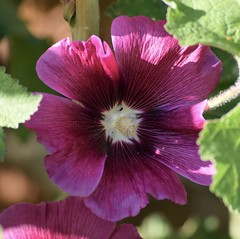 Hibiscus #1 (MJ Harbey) Tags: hibiscus pinkhibiscus eudicot malvales malvaceae hibisceae flower nationaltrust stowegardens buckinghamshire nikon d3300 nikond3300