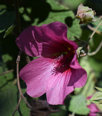 Hibiscus #2 (MJ Harbey) Tags: hibiscus pinkhibiscus flower eudicot malvaceae hibisceae malvales france brittany parcbotaniquedecornouaille nikon d3300 nikond3300