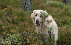 Hide and seek, or not... (tobbe_yfj) Tags: golden goldenretriever retriever hideandseek dog hund kurragömma