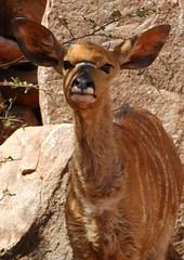 Young Nyala (DeniseKImages) Tags: wildlife africa youngnyala nyala antelope southafrica nature wild animal animals wildanimals wildanimal