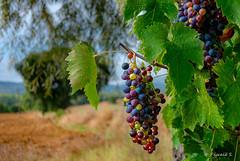 Avant les vendanges (Pascale_seg) Tags: italie italia italy raisin uva vignes vendemmia vendange ombrie umbria collines campagne countryscape countryside country campo champs été nikon grappes grapes