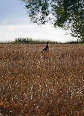 pheasant (auroradawn61) Tags: autumn fall dorset uk england 2019 october countryside pheasant bird field nature lumixgx80