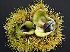 Sweet Chestnut (Castanea Sativa) (Nick_Fisher) Tags: sweet chestnut castanea sativa nickfisher macro zerene stack stacked olympus omd em10 mark ii olympusomdem10markii