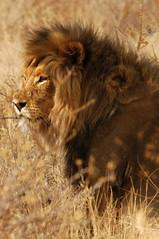 Big Male Kalahari Lion (DeniseKImages) Tags: wildlife africa bigcat kalahari kalaharilion cat lion lions grass southafrica nature wild animal animals wildanimals wildanimal bigfive