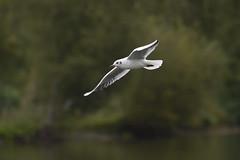 _DSC4386_00011 (eric.courant) Tags: mouette rieuse chanģé les laval mayenne 53 oiseau oiseaux photo animalière