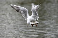 _DSC4371_00001 (eric.courant) Tags: mouette rieuse chanģé les laval mayenne 53 oiseau oiseaux photo animalière