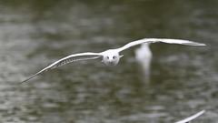 _DSC4363_00006 (eric.courant) Tags: mouette rieuse chanģé les laval mayenne 53 oiseau oiseaux photo animalière