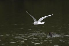 _DSC4362_00005 (eric.courant) Tags: mouette rieuse chanģé les laval mayenne 53 oiseau oiseaux photo animalière