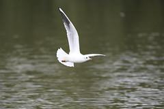 _DSC4358_00004 (eric.courant) Tags: mouette rieuse chanģé les laval mayenne 53 oiseau oiseaux photo animalière