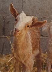 Who are you kidding (BrooksieC) Tags: goat kid animal corral farm spain
