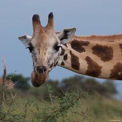 IMGP9171 Giraffe (Claudio e Lucia Images around the world) Tags: murchisonfallsnationalpark uganda murchison falls national park np nationalpark africa wildlife nature rainyday pentax pentaxk3ii pentaxcamera sigma sigma50500 bigma sigmalens sigmaart animal giraffa giraffe head looking