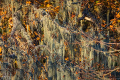 Of leaves and lichen in autumn. (Picture-Perfect Pixels) Tags: flickrexploreoctober192019 oldman'sbeardlichen beautifullighting autumn trees nature leaves lichen