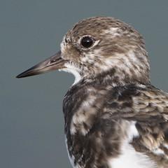 Turnstone (Gidzy) Tags: ruddyturnstone wader closeup migration lancashirebirds boatinglake nature rspb wyre