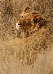 Kalahari Lioness (DeniseKImages) Tags: wildlife africa bigcat kalahari kalaharilion cat lion lions lioness lionesses grass southafrica nature wild animal animals wildanimals wildanimal bigfive
