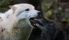 WOLFTALK (babsbaron ( Bella )) Tags: wildpark tierpark lüneburgerheide tierfotografie naturfotografie animalpark naturephotographie animalphotographie tiere animals säugetiere mammals raubtiere predators caniden wolf wölfe wolves rudel pack
