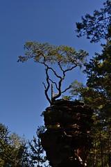 Tree in the Palatinate Forest (fnumrich) Tags: tree palatinateforest rock sandstone pfälzerwald dahn felsenland sandstein