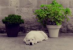 Siesta (E-C-K ART) Tags: dog gree mono seperate flower bush k9 siesta georgia tbilisi sleeping animal white chill
