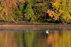 Grandes aigrettes Laval 13-09-2019 c (frankthewood63) Tags: 2019 laval québec oiseaux oiseau birds bird