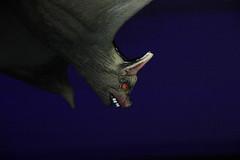Bat out of hell (Benny Hünersen) Tags: oktober october halloween nat på museet natpåmuseet museum night nacht aabenraa åbenrå bat out hell