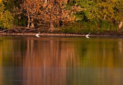 Grandes aigrettes Laval 13-09-2019 a (frankthewood63) Tags: 2019 laval québec oiseaux oiseau birds bird