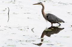 Grand héron Laval 14-09-2019 b (frankthewood63) Tags: 2019 laval québec oiseaux oiseau birds bird