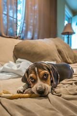 DSC05897 (johnjmurphyiii) Tags: 06416 beagle connecticut cromwell humphrey kerry originalarw shelly sonyrx100m5 spring usa dog johnjmurphyiii puppy