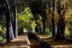 LUCES DE OTOÑO (marthinotf) Tags: paisaje castilla canal otoño pinare arboles pinos compuertas chopos hojas hojassecas caminos alamos platanos pinares