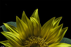 A Light In the Darkness (maspick) Tags: flower plant floral bloom blossom petals stamen sunflower yellow orange brown black green calyx leaves iowa unitedstates
