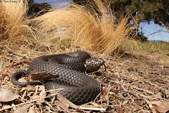 Austrelaps ramsayi (Highlands Copperhead) (Tom Frisby) Tags: snake snakes reptile reptiles animal animals fauna wildlife wild herp herping photography australia nature nsw native