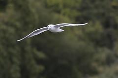 _DSC4384_00010 (eric.courant) Tags: mouette rieuse chanģé les laval mayenne 53 oiseau oiseaux photo animalière