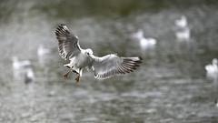 _DSC4373_00002_00001 (eric.courant) Tags: mouette rieuse chanģé les laval mayenne 53 oiseau oiseaux photo animalière