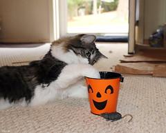 Trick or Treat (Lisa Zins) Tags: cat feline petsandanimals pets animals elijah tabby container bucket halloween face pumpkin paw playing happycaturday 2019 toy lisazins october19