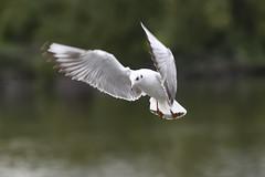 _DSC4366_00007 (eric.courant) Tags: mouette rieuse chanģé les laval mayenne 53 oiseau oiseaux photo animalière