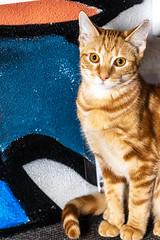 Javacatscafefinal19Oct201920.jpg (fredstrobel) Tags: javacafecats javacatscafe atlanta places animals ga pets cats usa georgia unitedstatesofamerica