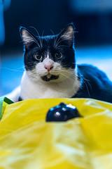Javacatscafefinal19Oct201924.jpg (fredstrobel) Tags: javacafecats javacatscafe atlanta places animals ga pets cats usa georgia unitedstatesofamerica
