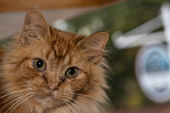Javacatscafefinal19Oct201925.jpg (fredstrobel) Tags: javacafecats javacatscafe atlanta places animals ga pets cats usa georgia unitedstatesofamerica