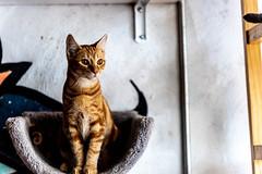 Javacatscafefinal19Oct201942.jpg (fredstrobel) Tags: javacafecats javacatscafe atlanta places animals ga pets cats usa georgia unitedstatesofamerica