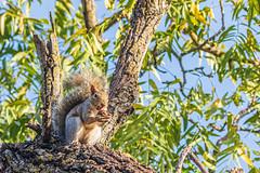 Fox Squirrel (Allan Hack) Tags: treesquirrel wildlife sanjoseca squirrel hiking foxsquirrel coyotecreektrail animals cities