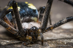 Black & Yellow Garden Spider (strjustin) Tags: blackandyellowgardenspider gardenspider orbweaver arachnid spider insect beautiful bug macro mpe focusstacking