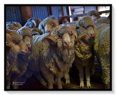 Now listen here boys... (John Panneman Photography) Tags: merigansheepfarm tarago mountfairy bungendore nsw australia panneman nikon d610 sheep farm station working merino field agriculture timdemestre sheepfarm crutching drenching shearer lamb ewe ram homestead shearing shearingshed