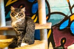 Javacatscafefinal19Oct20192.jpg (fredstrobel) Tags: javacafecats javacatscafe atlanta places animals ga pets cats usa georgia unitedstatesofamerica