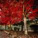 Red Row (acullen007) Tags: acullen fallcolors