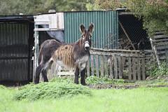 _DSC4357_00003 (eric.courant) Tags: ane chevaux cheval laval mayenne 53 photo animalière