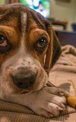 DSC05904 (johnjmurphyiii) Tags: 06416 beagle connecticut cromwell humphrey kerry originalarw shelly sonyrx100m5 spring usa dog johnjmurphyiii puppy