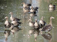 geese (Ketrilla) Tags: geese greaterwhitefrontedgoose bird
