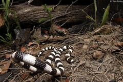 Vermicella annulata (Bandy-Bandy) (Tom Frisby) Tags: snake snakes reptile reptiles wildlife wild herp herping photography australia nature nsw native nightlife animal animals fauna